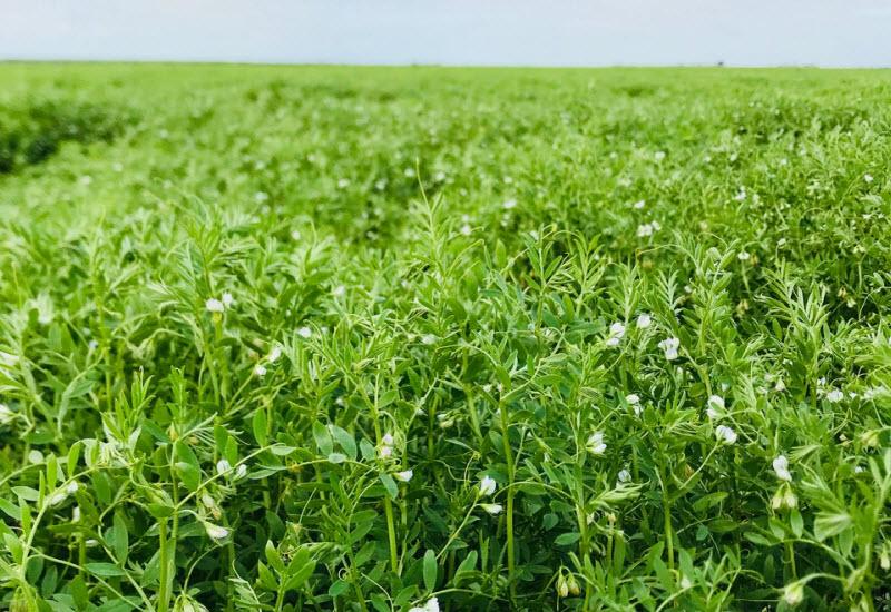 Rosevale - Lentils plant